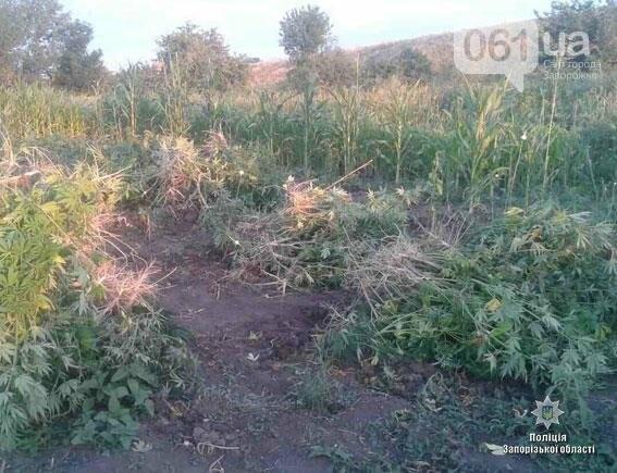 В Запорожской области ликвидировали две наркоплантации, — ФОТО, фото-3