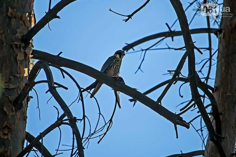 Запорожец сфотографировал в дикой природе сову, сокола и необычных дятлов, - ФОТО, фото-3