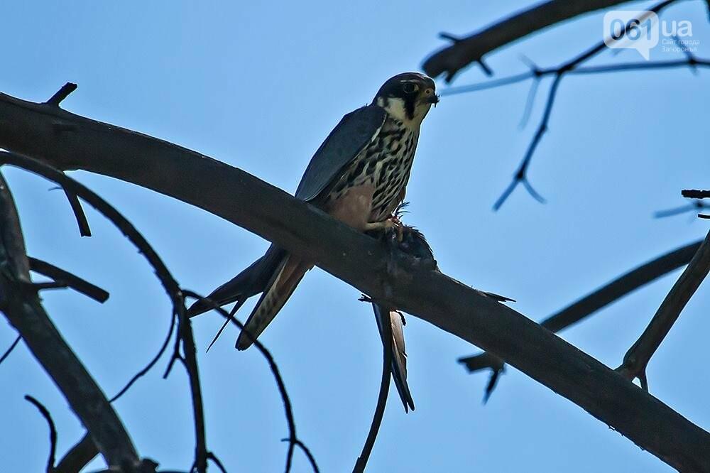Запорожец сфотографировал в дикой природе сову, сокола и необычных дятлов, - ФОТО, фото-5