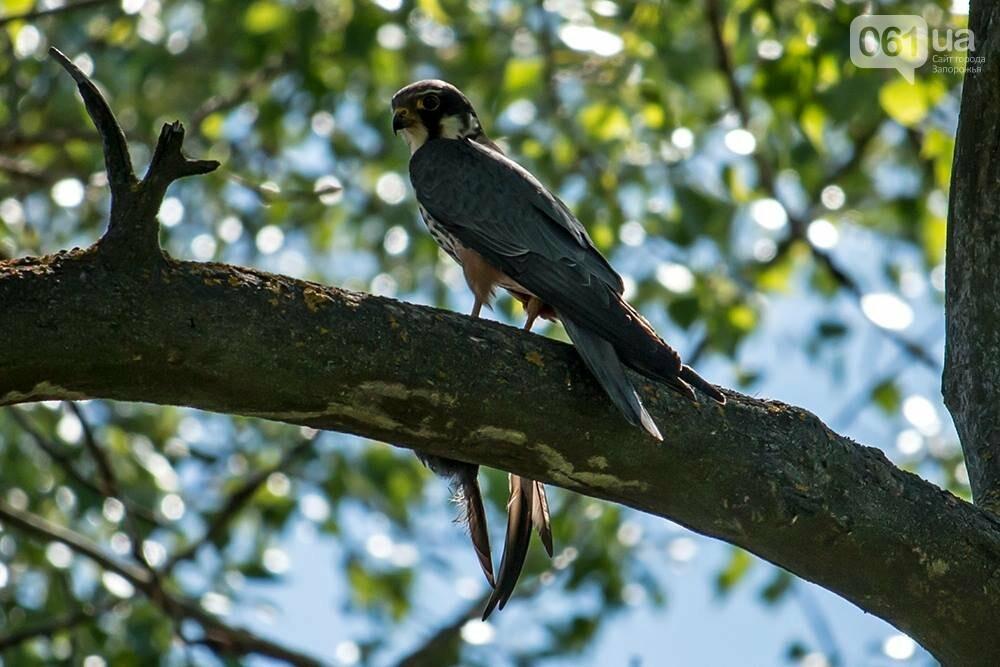 Запорожец сфотографировал в дикой природе сову, сокола и необычных дятлов, - ФОТО, фото-6