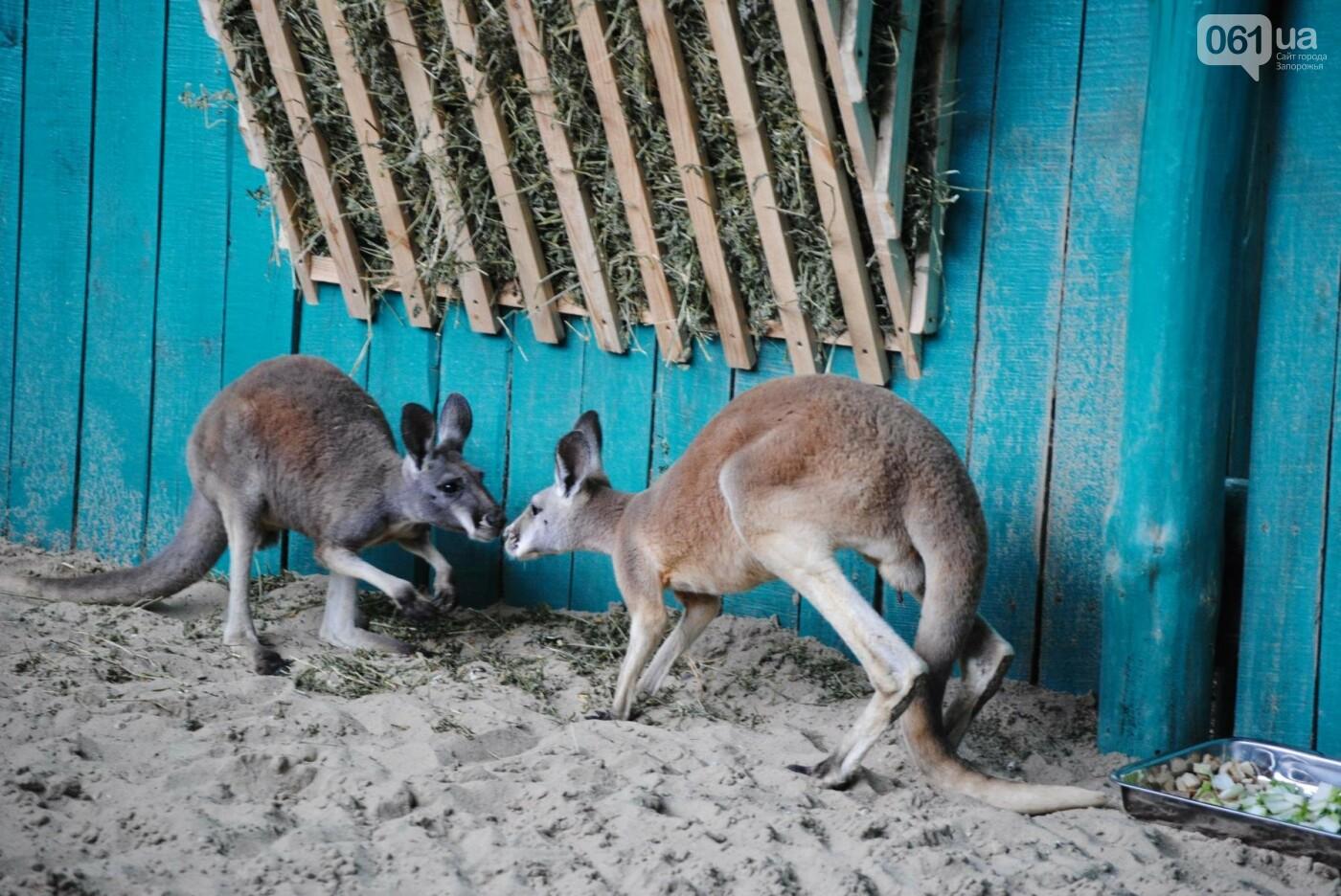 В бердянском зоопарке появились кенгуру: они любят хлеб и скоро станут ручными, - ФОТОРЕПОРТАЖ, фото-3