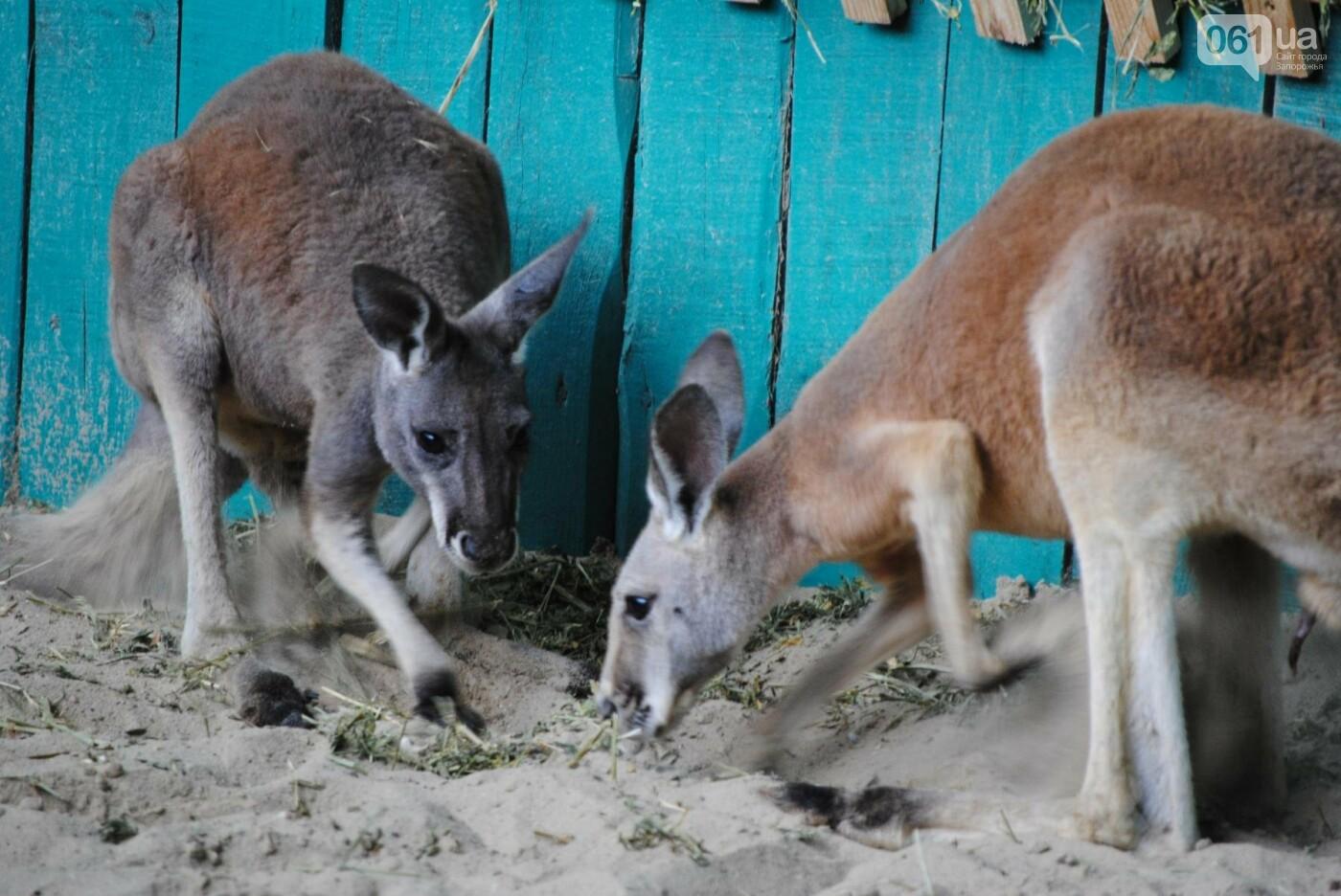 В бердянском зоопарке появились кенгуру: они любят хлеб и скоро станут ручными, - ФОТОРЕПОРТАЖ, фото-1