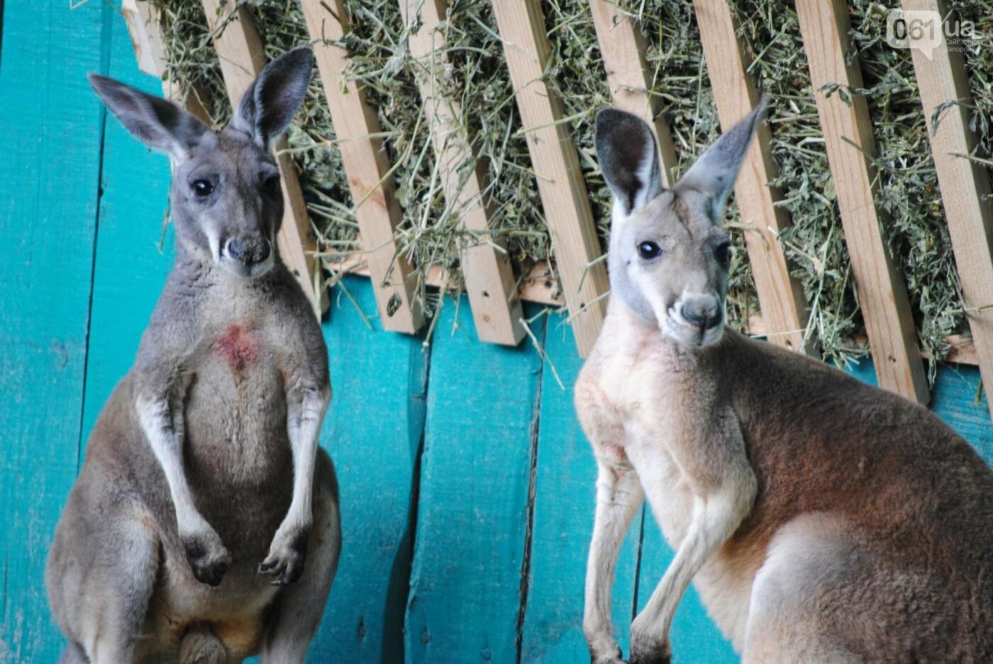 В бердянском зоопарке появились кенгуру: они любят хлеб и скоро станут ручными, - ФОТОРЕПОРТАЖ, фото-6