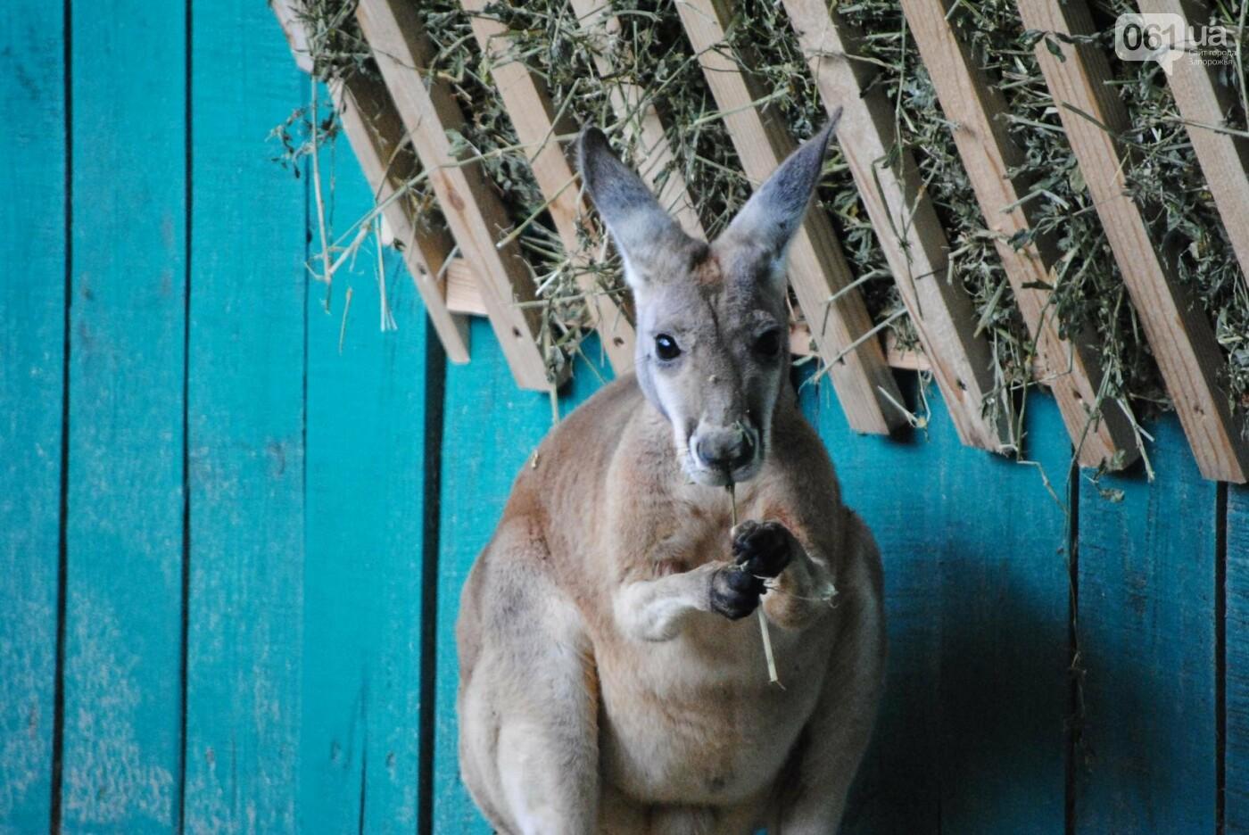 В бердянском зоопарке появились кенгуру: они любят хлеб и скоро станут ручными, - ФОТОРЕПОРТАЖ, фото-14