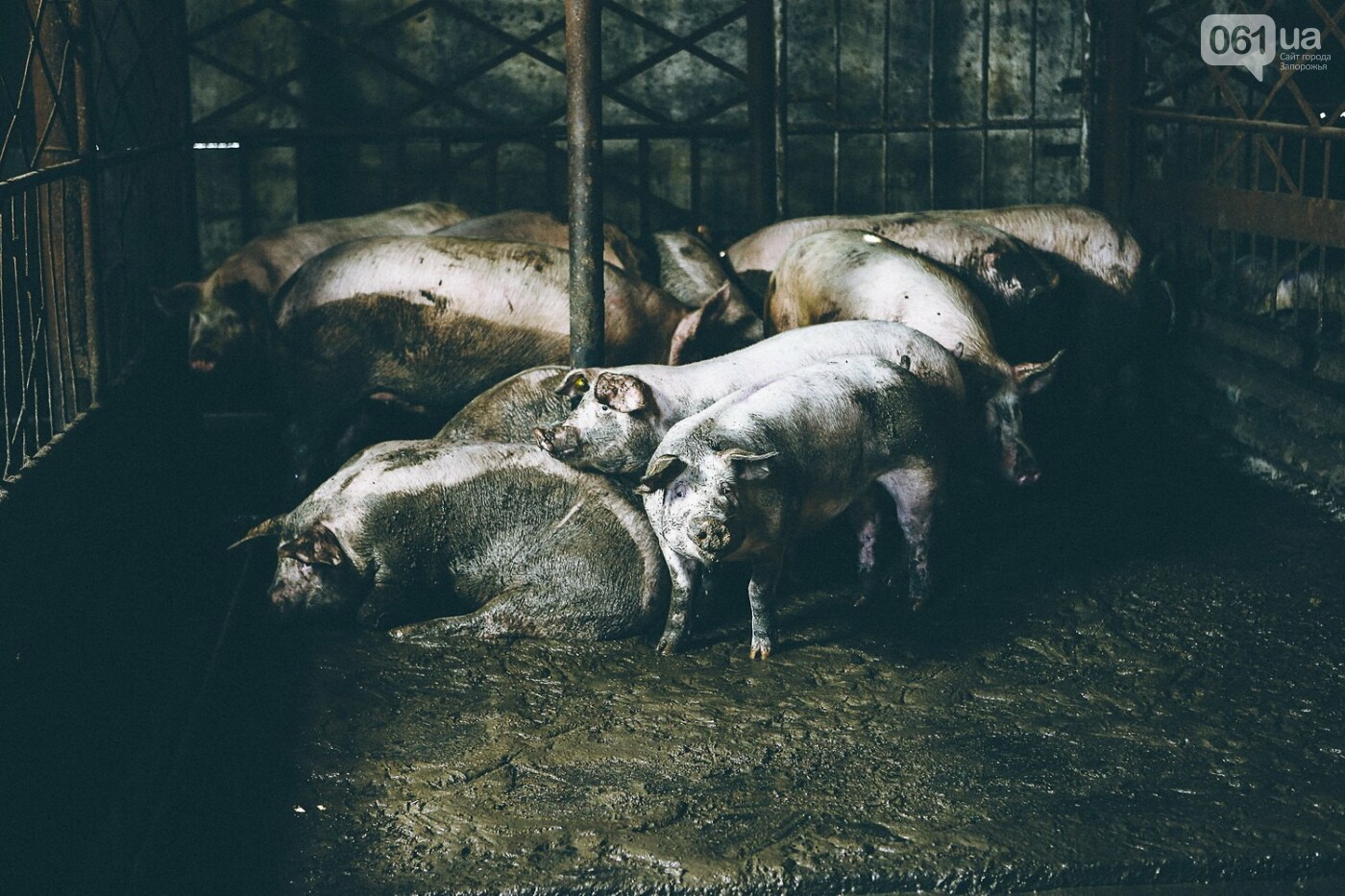 Забой скота в Украине приходит к европейским стандартам - ФОТОРЕПОРТАЖ 18+, фото-2