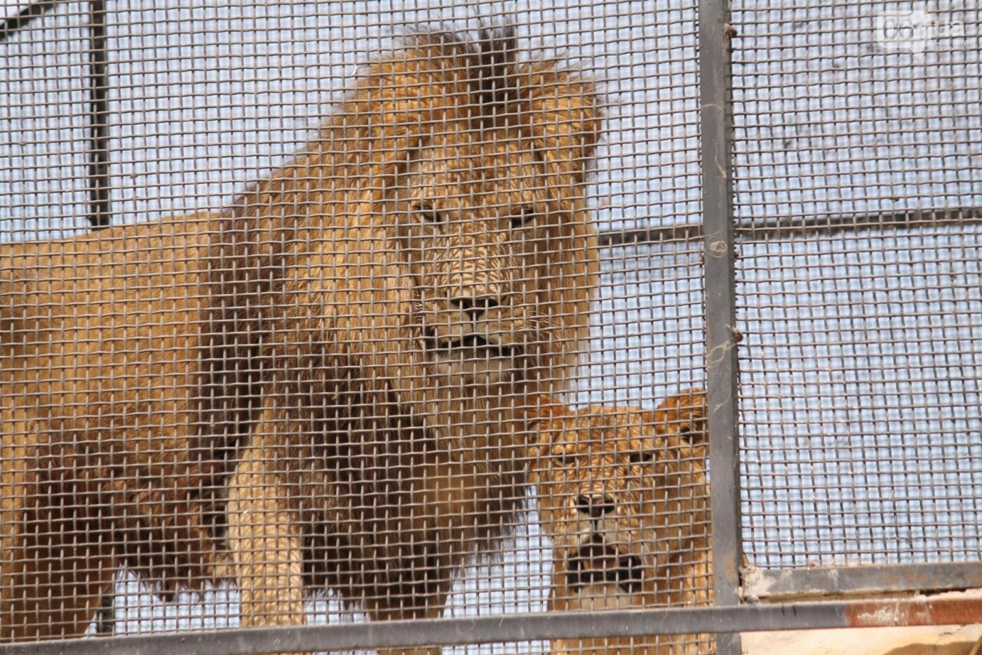 В доме с хищниками: как Александр Пылышенко прожил 36 дней с львицей и построил в Васильевке уникальный зоопарк, фото-29