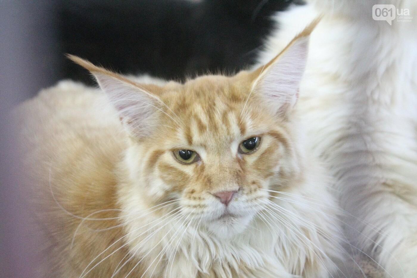 Как в Запорожье проходит международная выставка кошек, – ФОТОРЕПОРТАЖ, фото-8