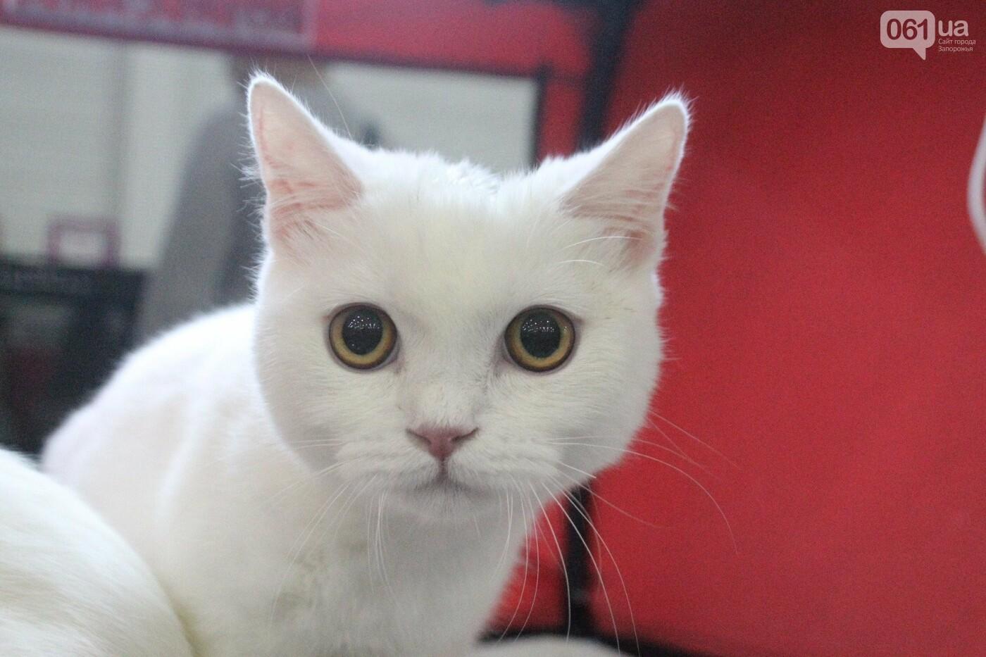 Как в Запорожье проходит международная выставка кошек, – ФОТОРЕПОРТАЖ, фото-25