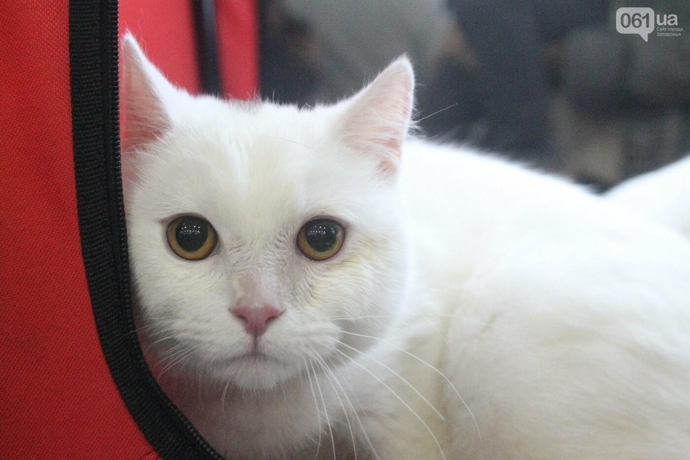 Как в Запорожье проходит международная выставка кошек, – ФОТОРЕПОРТАЖ, фото-22