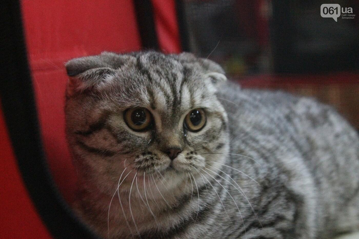 Как в Запорожье проходит международная выставка кошек, – ФОТОРЕПОРТАЖ, фото-10