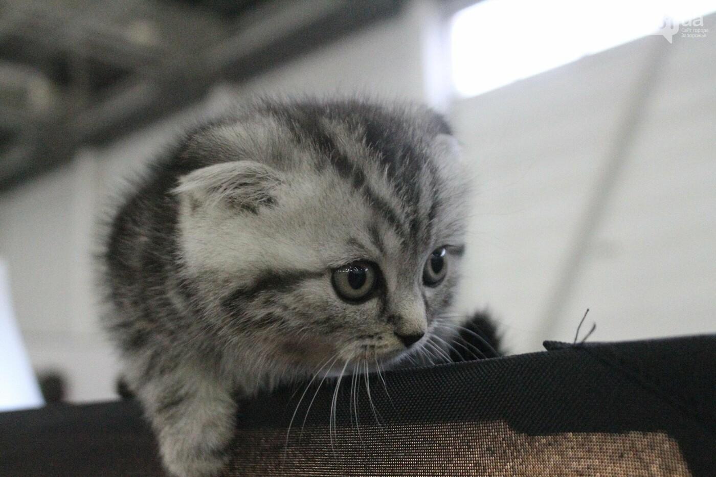 Как в Запорожье проходит международная выставка кошек, – ФОТОРЕПОРТАЖ, фото-9