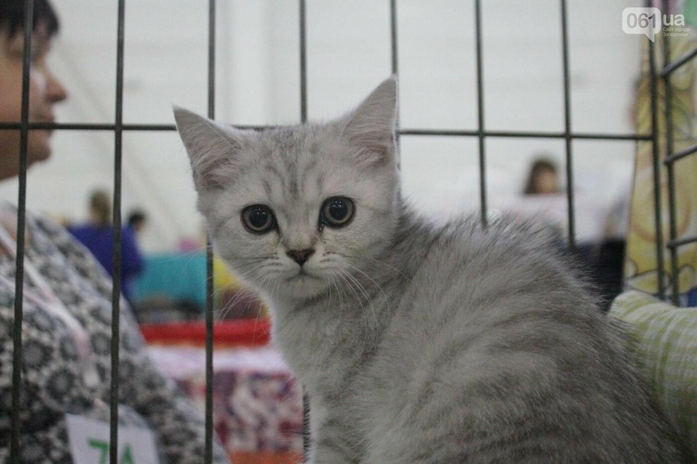 Как в Запорожье проходит международная выставка кошек, – ФОТОРЕПОРТАЖ, фото-36