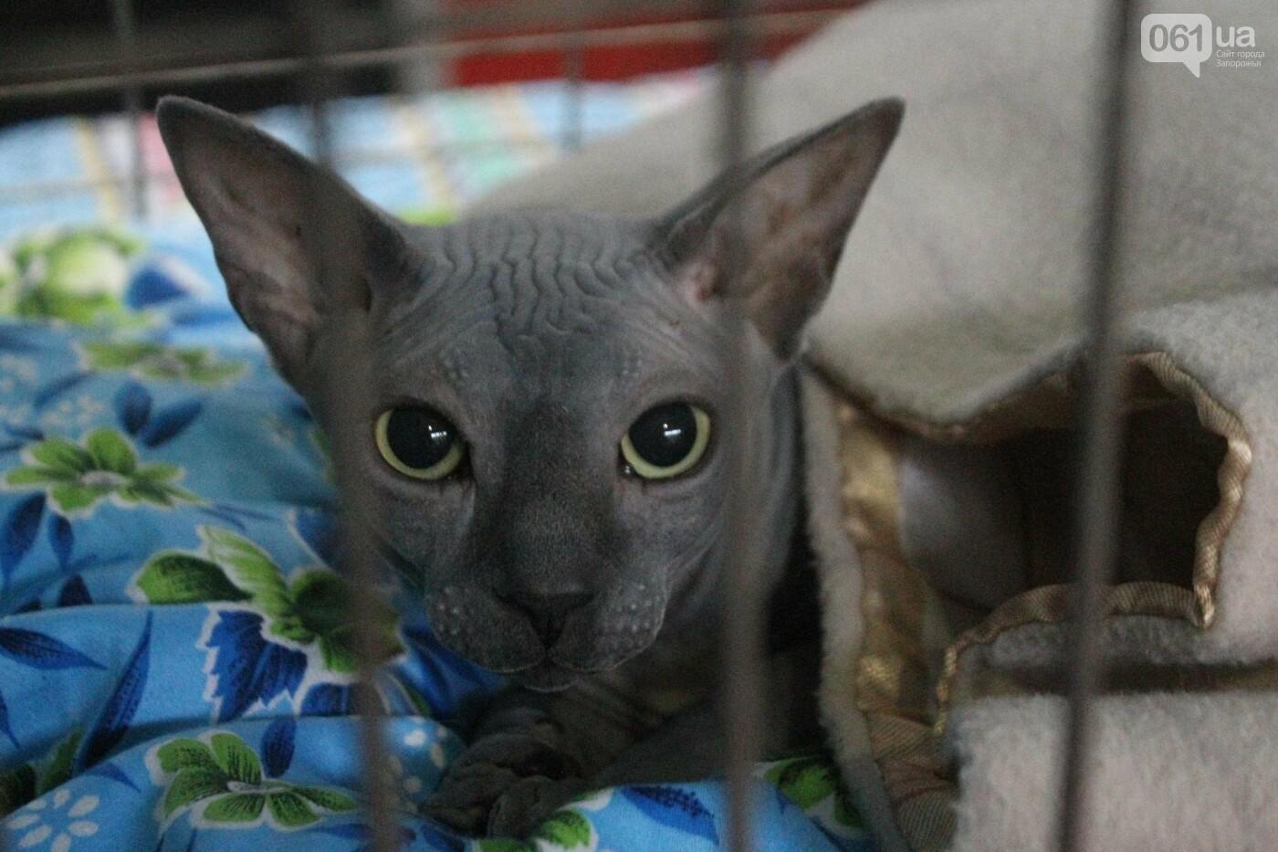 Как в Запорожье проходит международная выставка кошек, – ФОТОРЕПОРТАЖ, фото-46