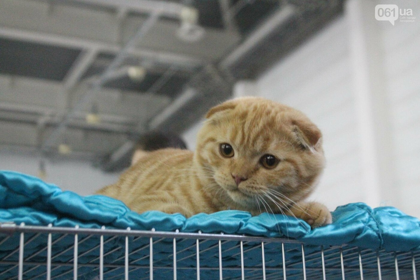 Как в Запорожье проходит международная выставка кошек, – ФОТОРЕПОРТАЖ, фото-38
