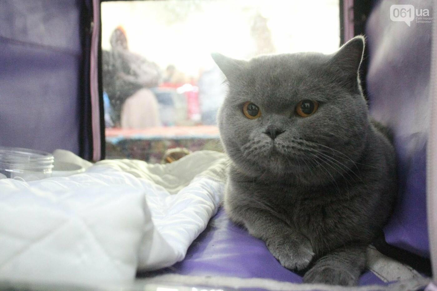 Как в Запорожье проходит международная выставка кошек, – ФОТОРЕПОРТАЖ, фото-30