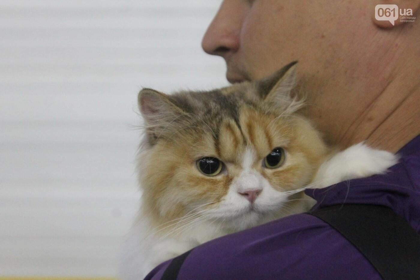 Как в Запорожье проходит международная выставка кошек, – ФОТОРЕПОРТАЖ, фото-15