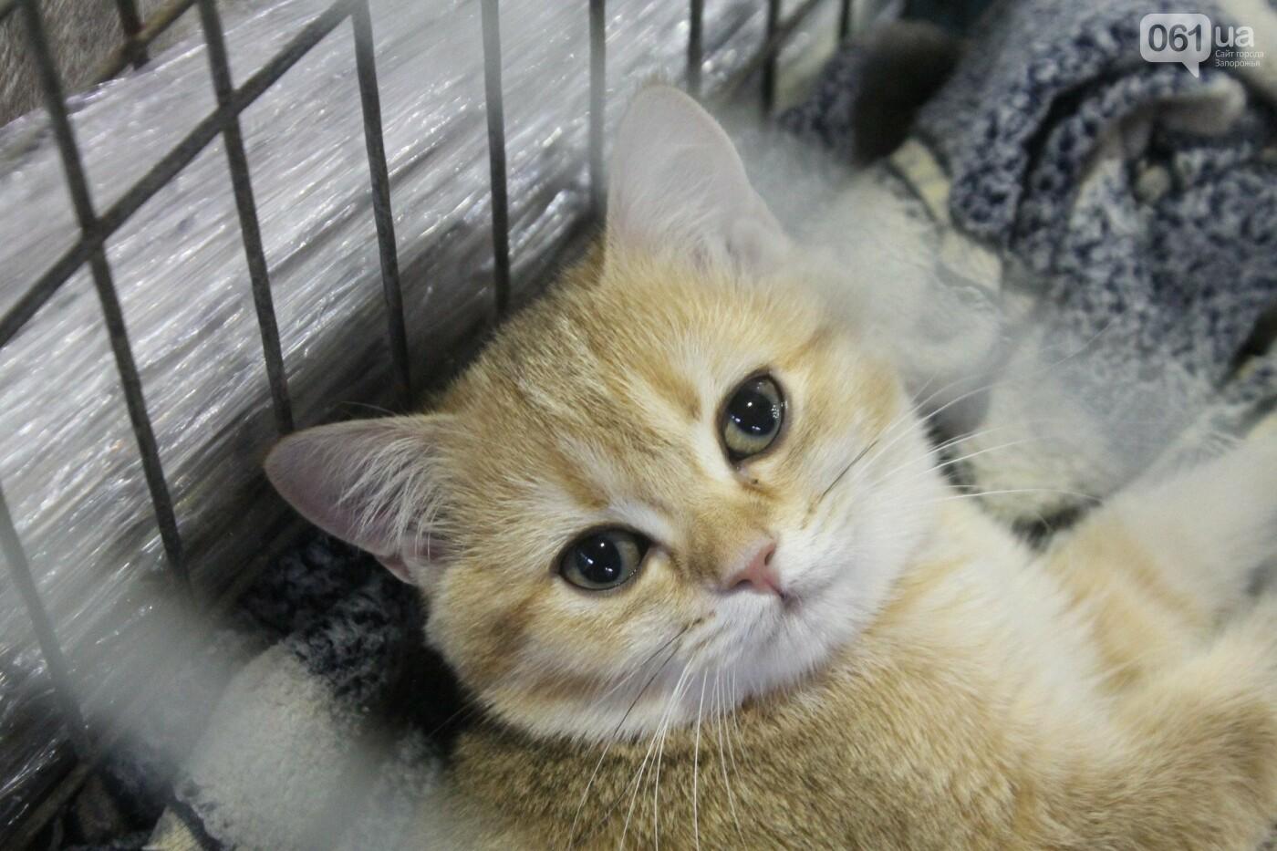 Как в Запорожье проходит международная выставка кошек, – ФОТОРЕПОРТАЖ, фото-27