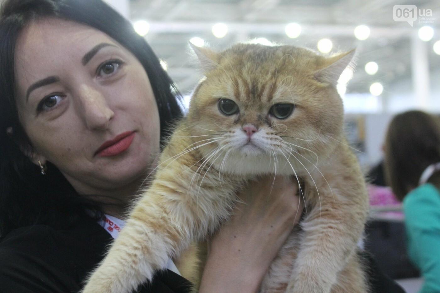 Как в Запорожье проходит международная выставка кошек, – ФОТОРЕПОРТАЖ, фото-16