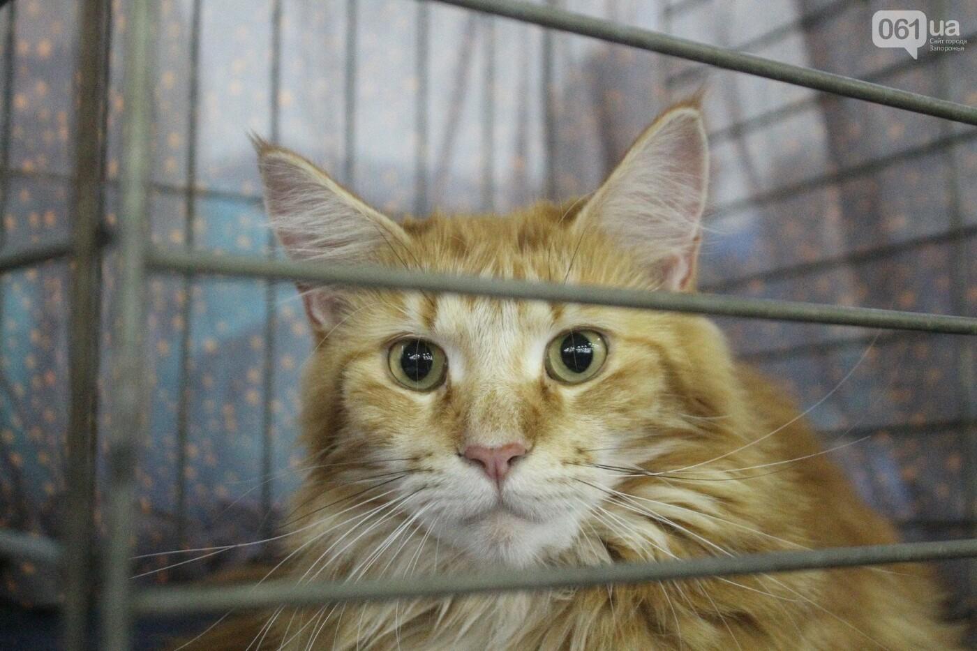 Как в Запорожье проходит международная выставка кошек, – ФОТОРЕПОРТАЖ, фото-48