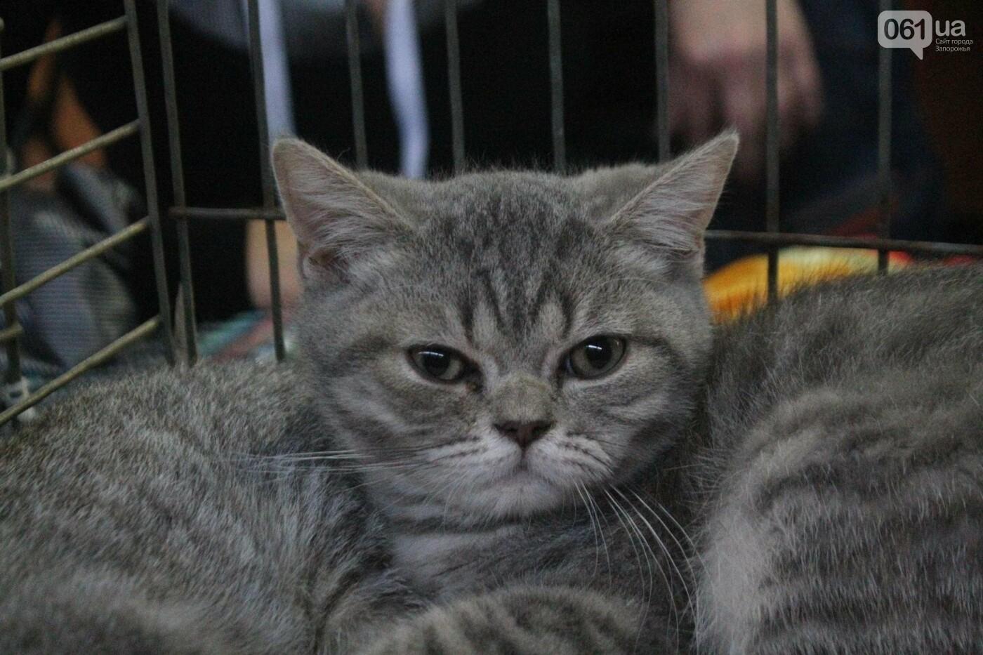 Как в Запорожье проходит международная выставка кошек, – ФОТОРЕПОРТАЖ, фото-54