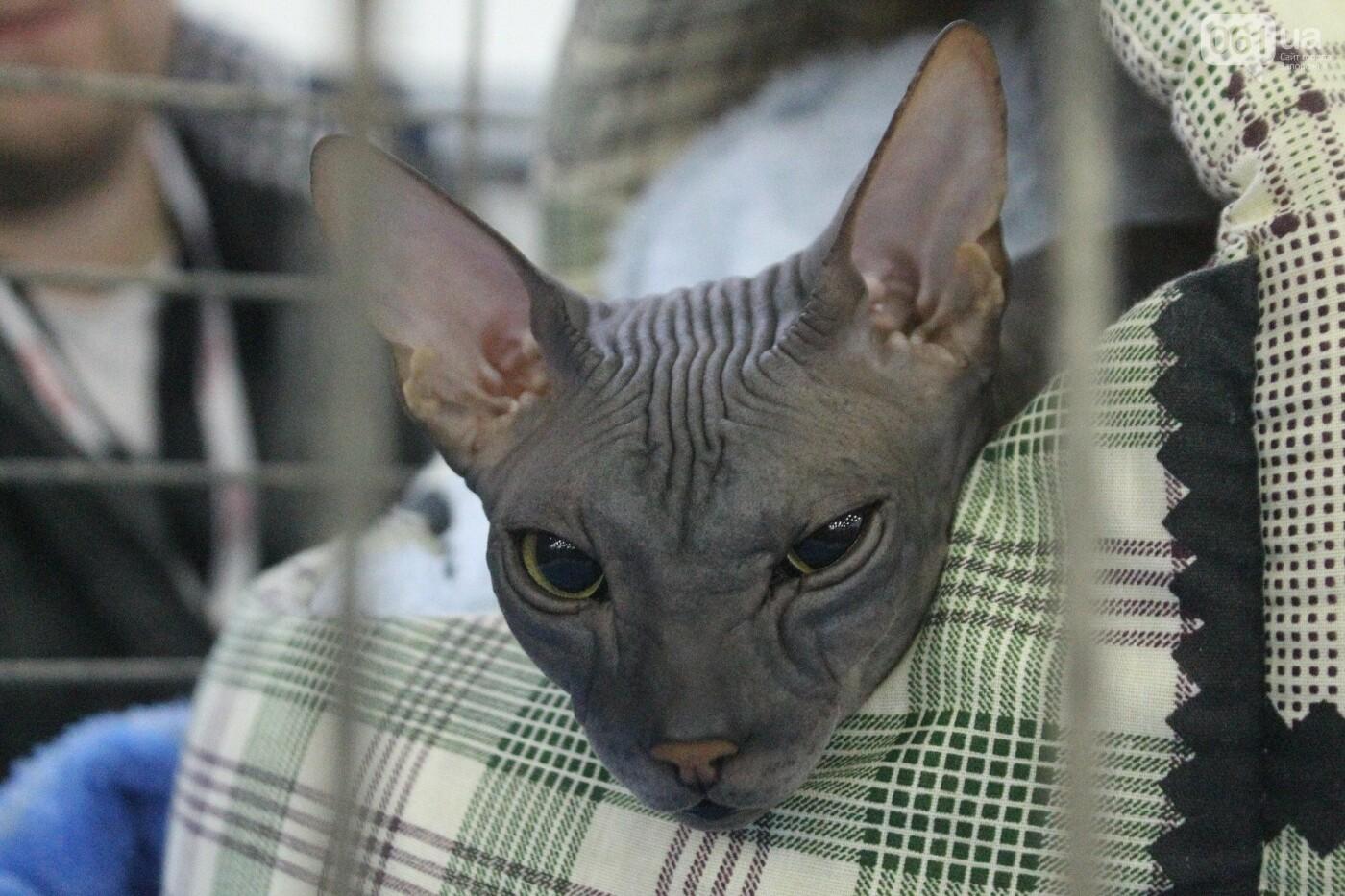 Как в Запорожье проходит международная выставка кошек, – ФОТОРЕПОРТАЖ, фото-55