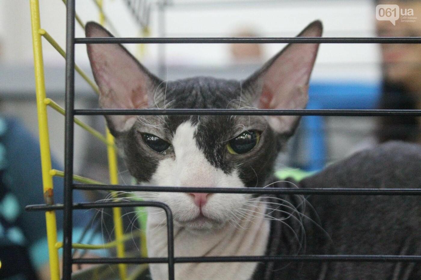 Как в Запорожье проходит международная выставка кошек, – ФОТОРЕПОРТАЖ, фото-43