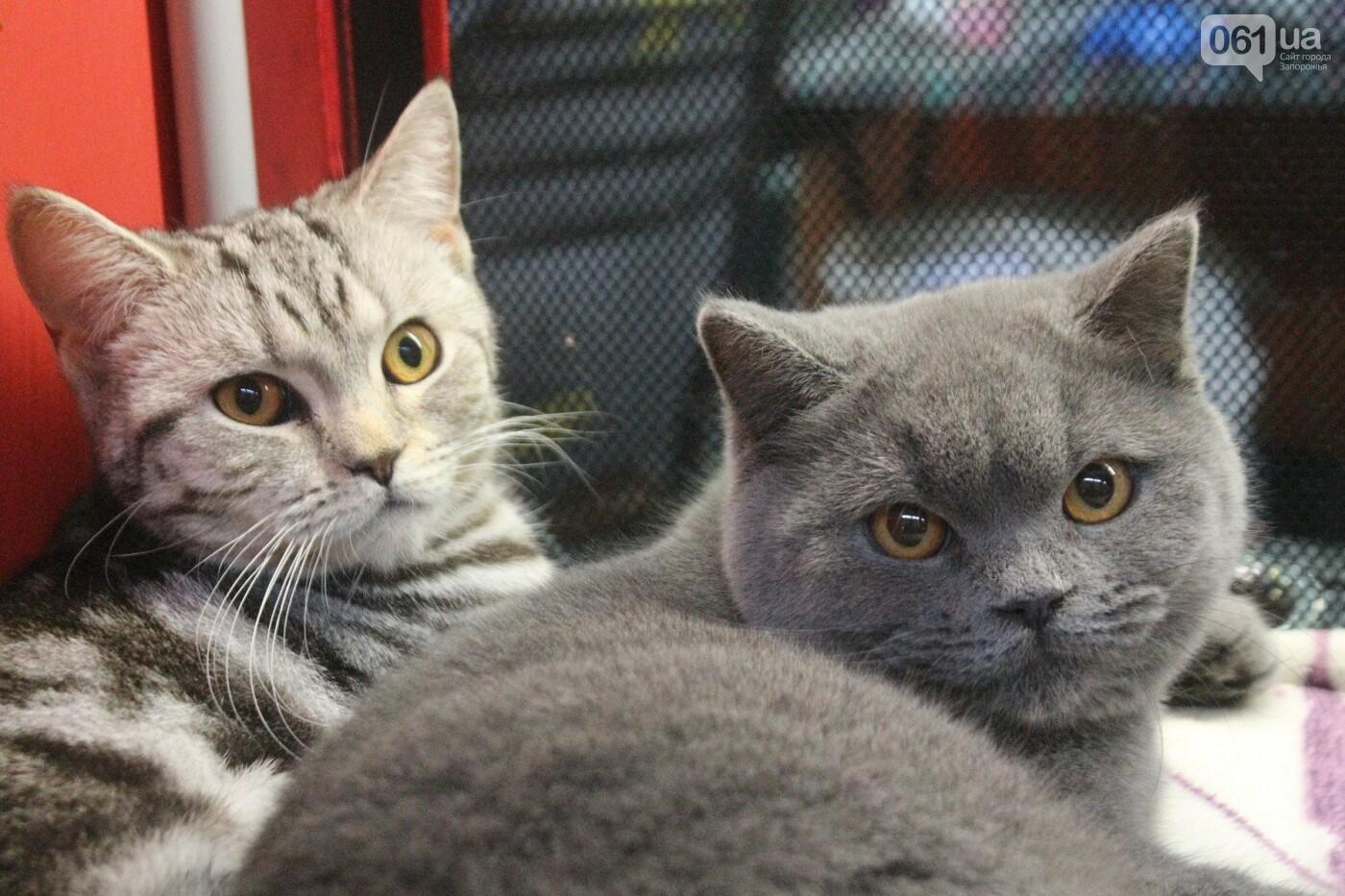 Как в Запорожье проходит международная выставка кошек, – ФОТОРЕПОРТАЖ, фото-56