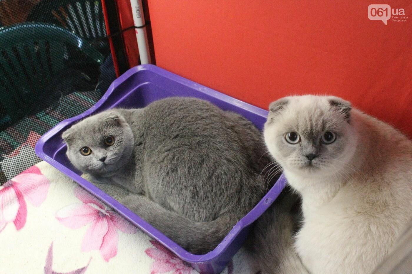 Как в Запорожье проходит международная выставка кошек, – ФОТОРЕПОРТАЖ, фото-58