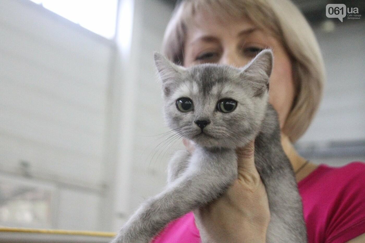 Как в Запорожье проходит международная выставка кошек, – ФОТОРЕПОРТАЖ, фото-33