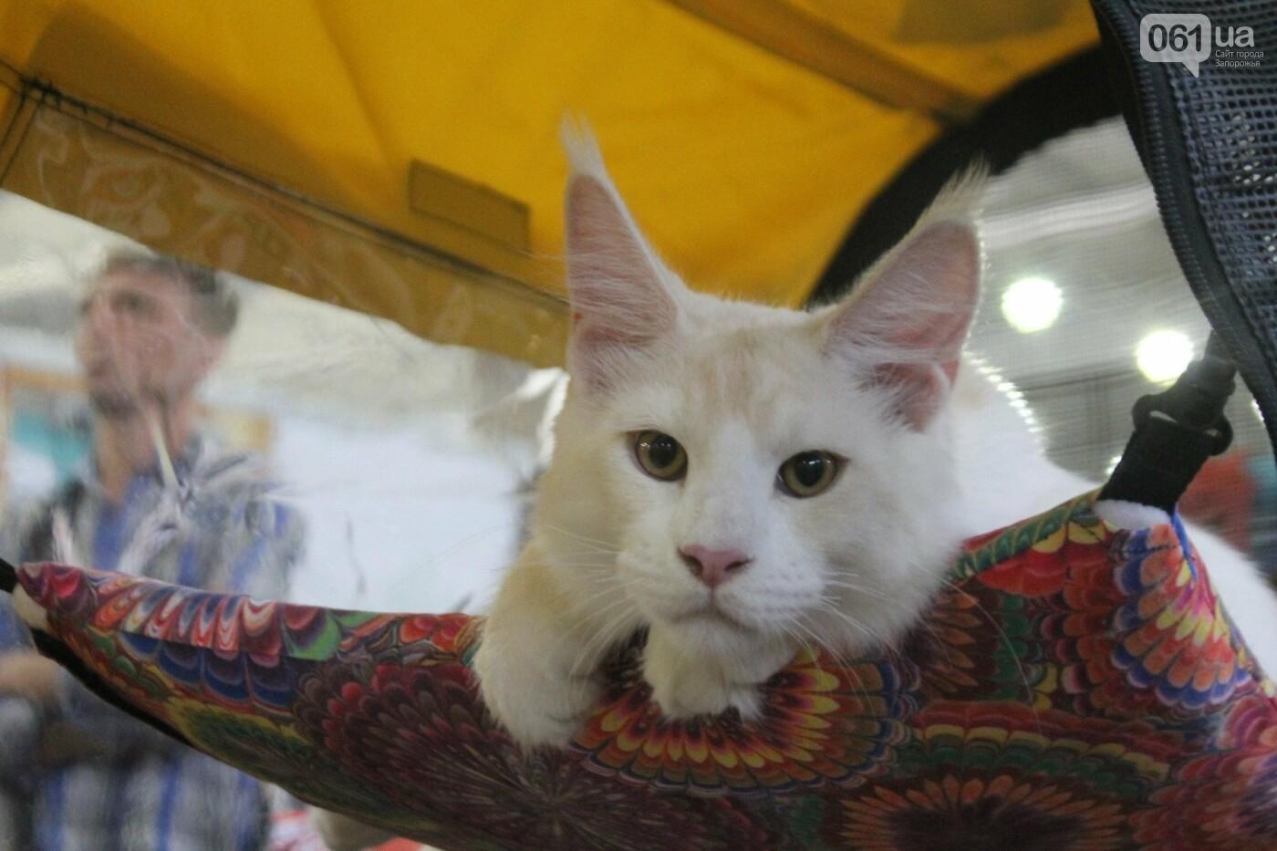 Как в Запорожье проходит международная выставка кошек, – ФОТОРЕПОРТАЖ, фото-21