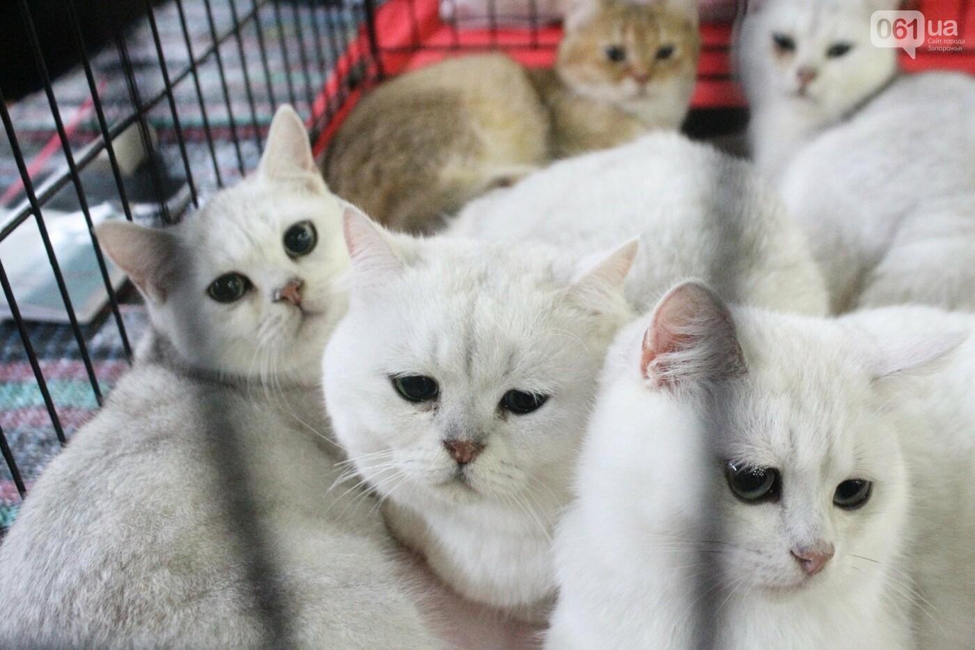Как в Запорожье проходит международная выставка кошек, – ФОТОРЕПОРТАЖ, фото-29