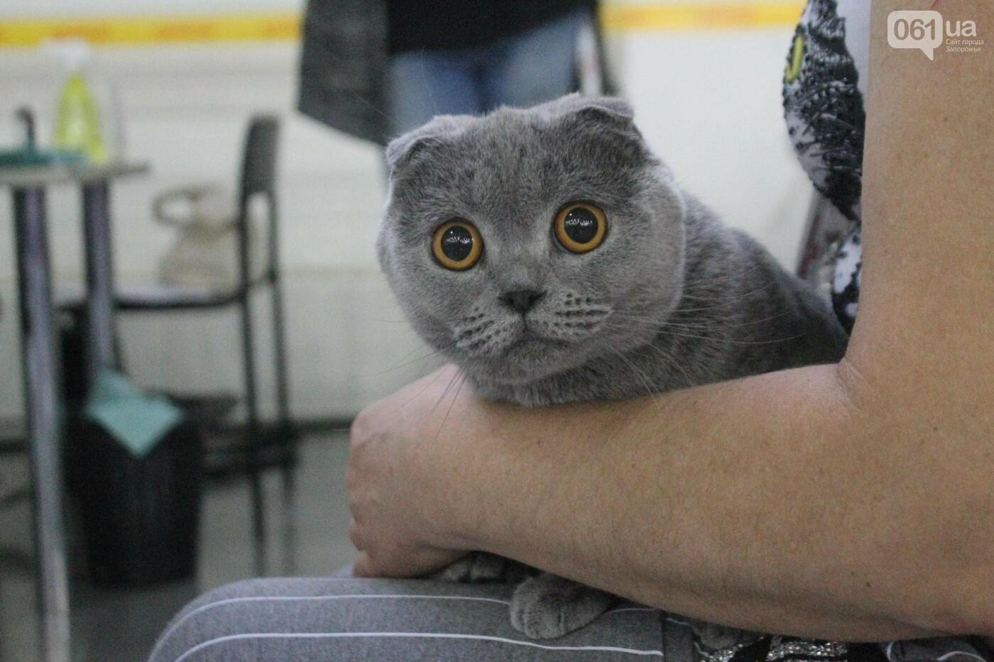Как в Запорожье проходит международная выставка кошек, – ФОТОРЕПОРТАЖ, фото-51