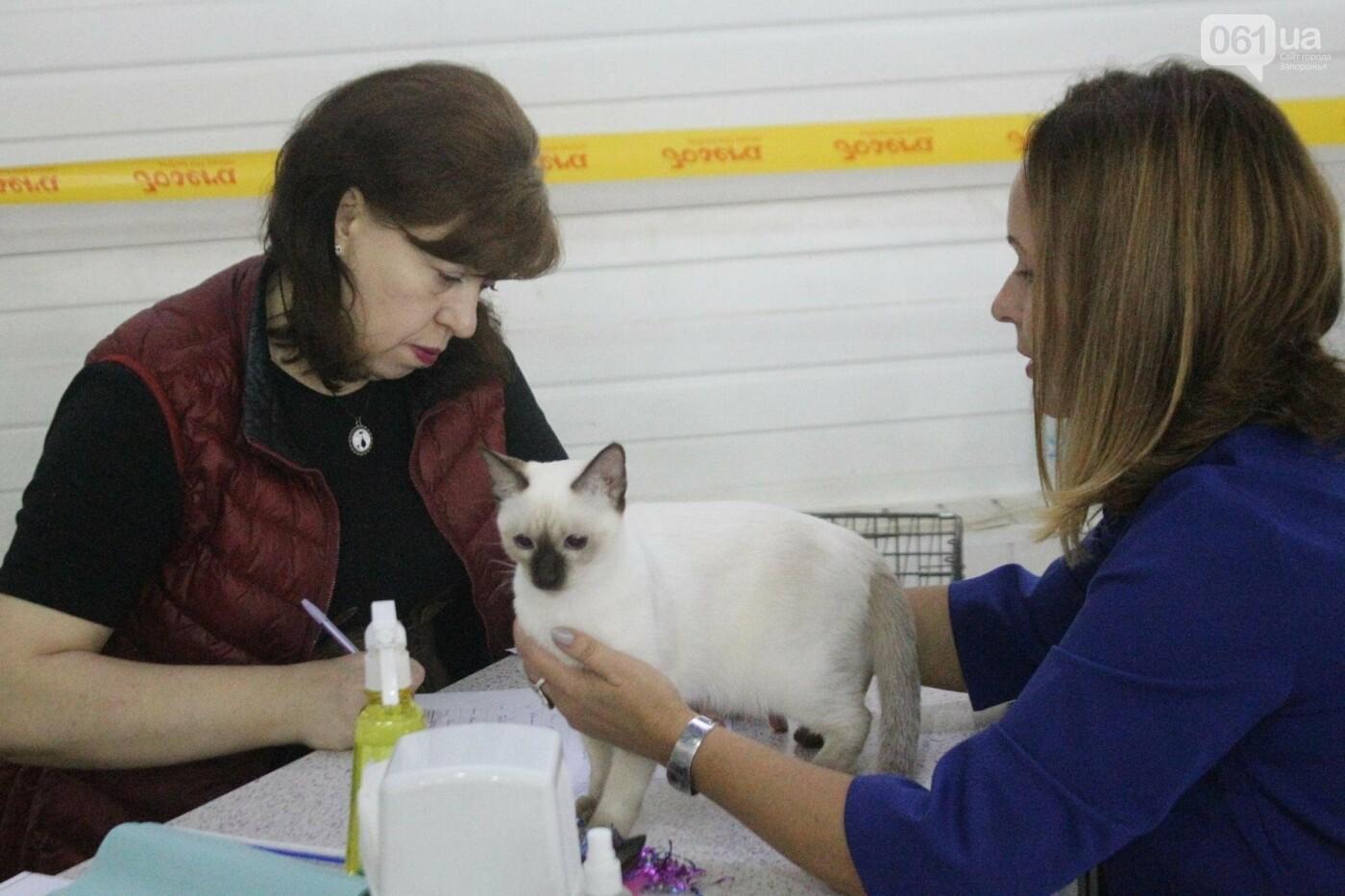 Как в Запорожье проходит международная выставка кошек, – ФОТОРЕПОРТАЖ, фото-5