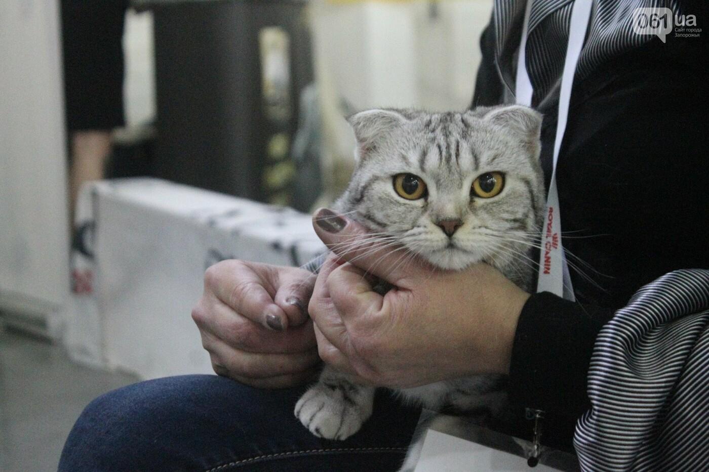 Как в Запорожье проходит международная выставка кошек, – ФОТОРЕПОРТАЖ, фото-50
