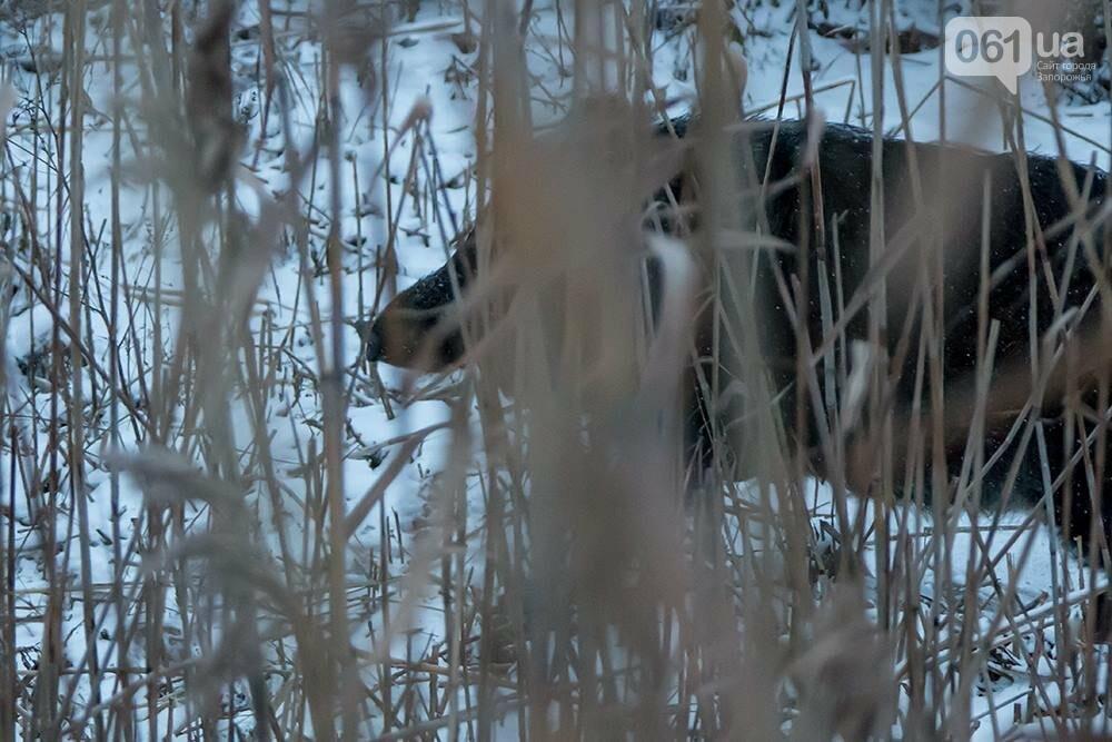 Запорожский натуралист запечатлел хортицких кабанов и оленей под Рождество, - ФОТО, фото-1