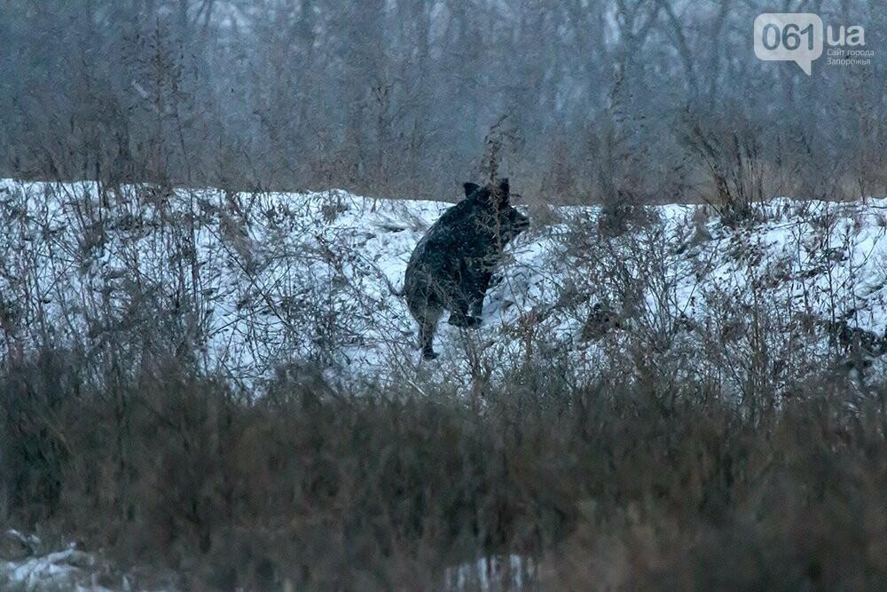 Запорожский натуралист запечатлел хортицких кабанов и оленей под Рождество, - ФОТО, фото-2