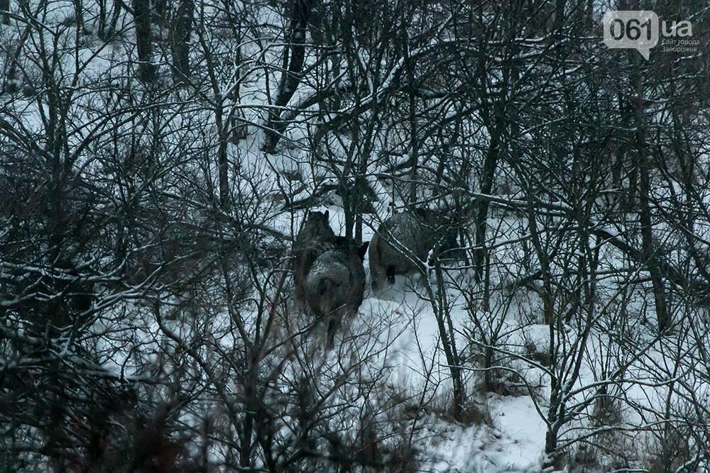 Запорожский натуралист запечатлел хортицких кабанов и оленей под Рождество, - ФОТО, фото-3