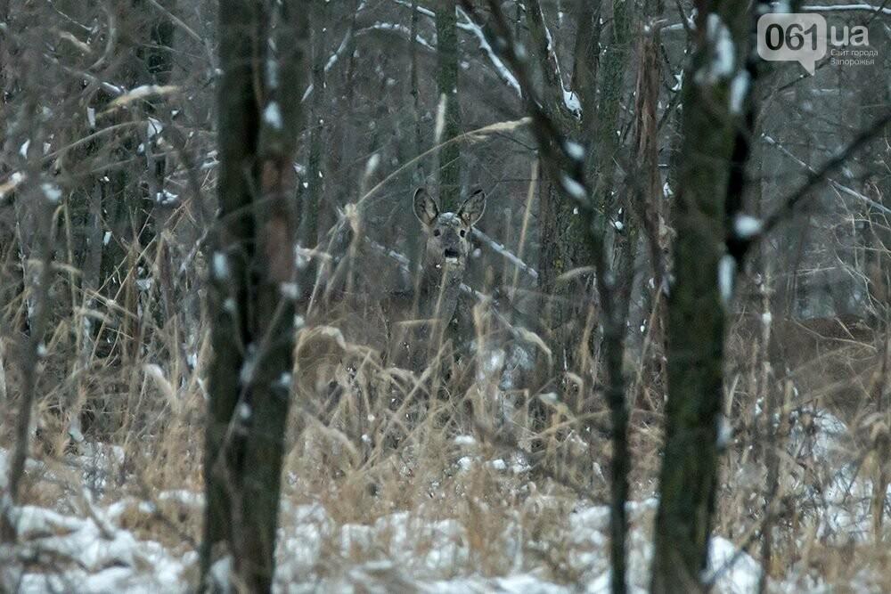 Запорожский натуралист запечатлел хортицких кабанов и оленей под Рождество, - ФОТО, фото-5