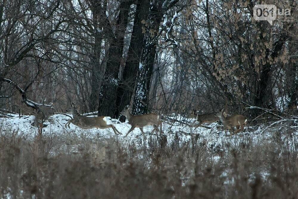 Запорожский натуралист запечатлел хортицких кабанов и оленей под Рождество, - ФОТО, фото-4