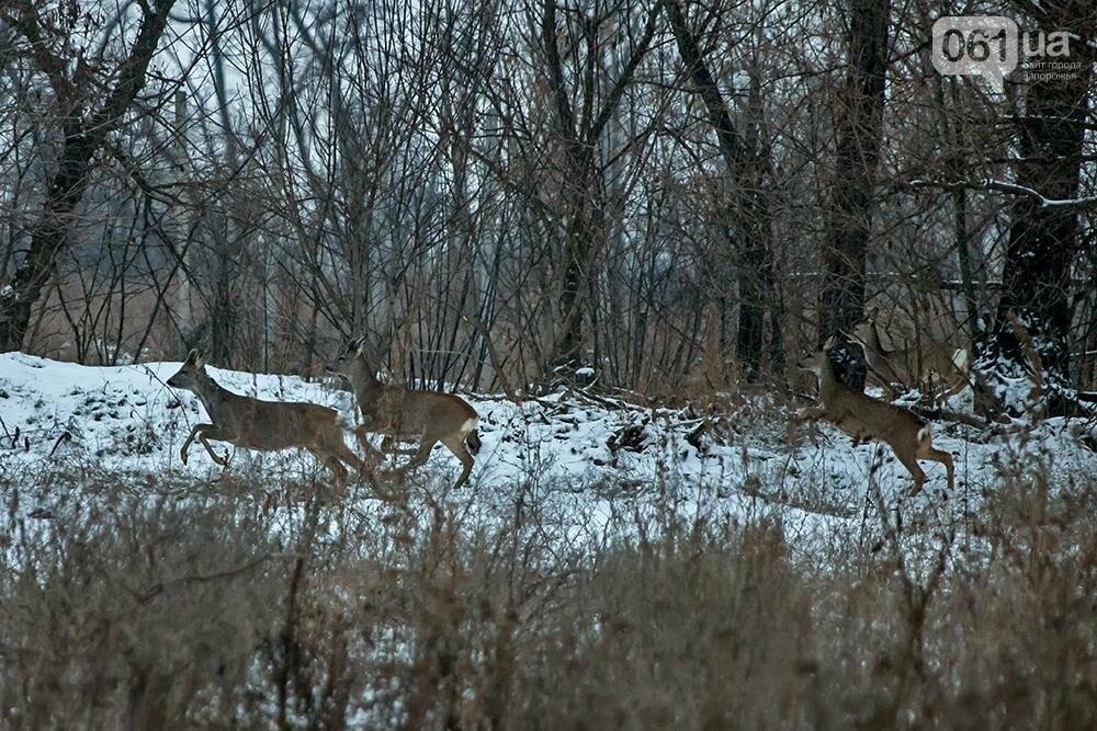 Запорожский натуралист запечатлел хортицких кабанов и оленей под Рождество, - ФОТО, фото-6