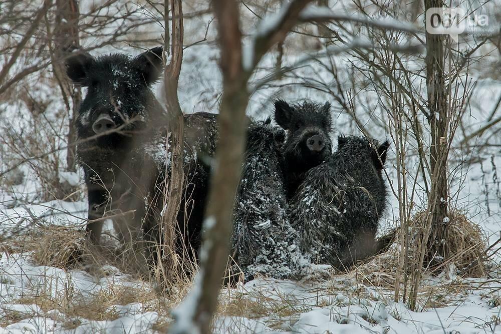Запорожский натуралист запечатлел хортицких кабанов и оленей под Рождество, - ФОТО, фото-8