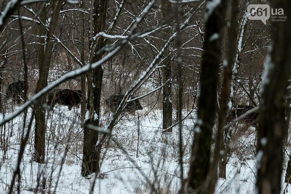 Запорожский натуралист запечатлел хортицких кабанов и оленей под Рождество, - ФОТО, фото-7