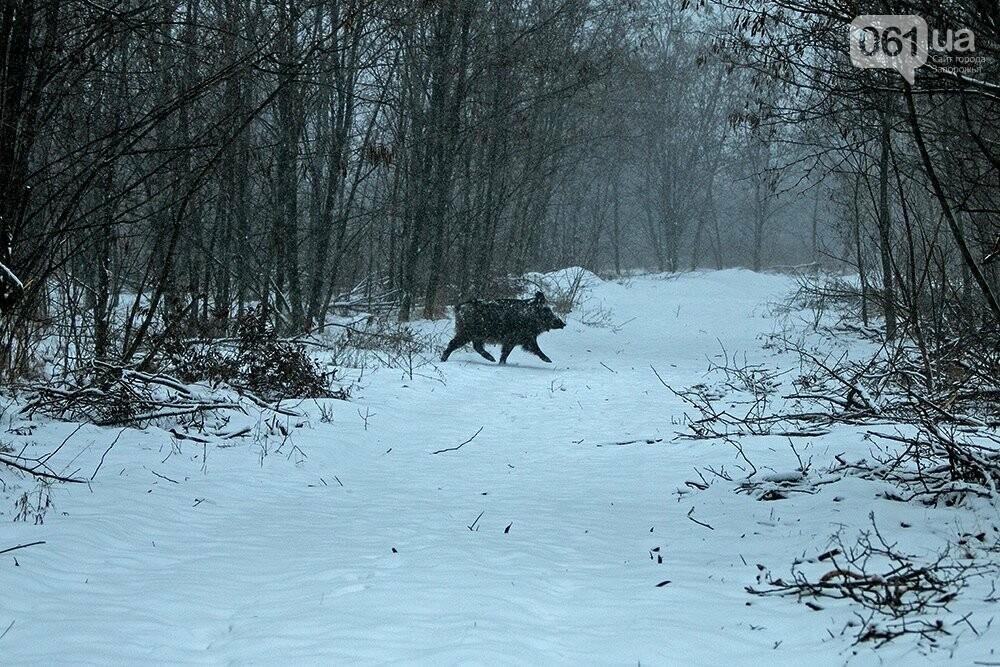 Запорожский натуралист запечатлел хортицких кабанов и оленей под Рождество, - ФОТО, фото-11