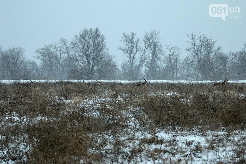 Запорожский натуралист запечатлел хортицких кабанов и оленей под Рождество, - ФОТО, фото-9