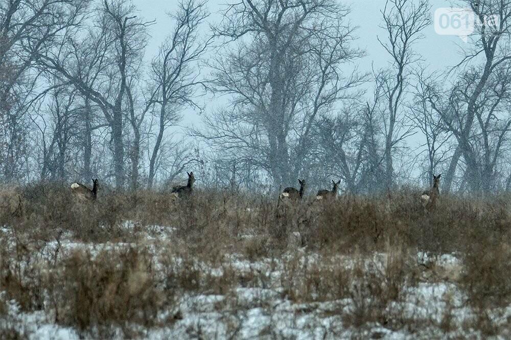 Запорожский натуралист запечатлел хортицких кабанов и оленей под Рождество, - ФОТО, фото-10