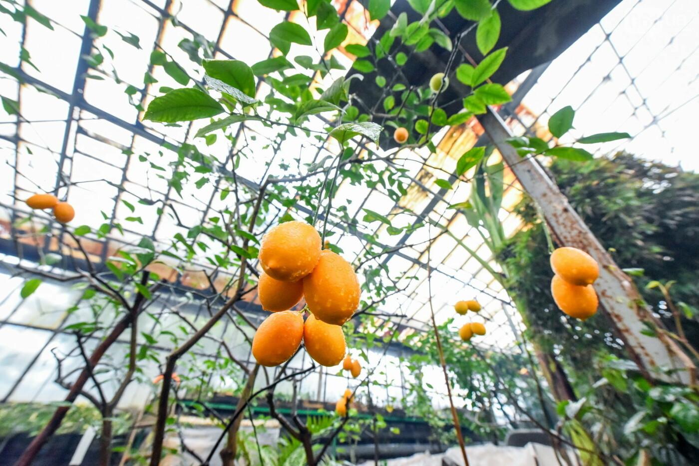 """Бананы, кинкан, огромные лимоны и """"райская птица"""" - запорожский ботанический сад в фотографиях, фото-6"""