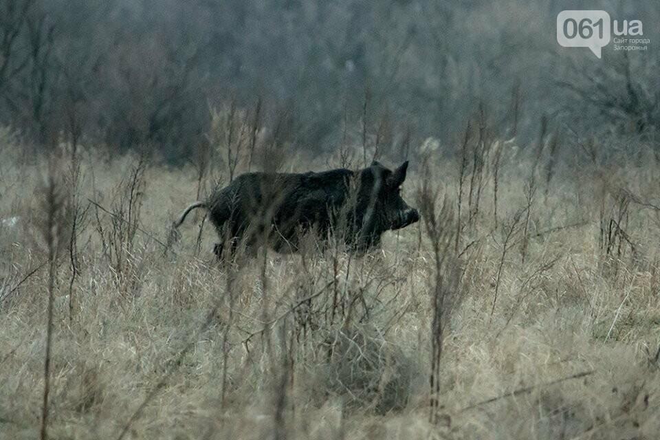 Запорожский фотограф-натуралист запечатлел на Хортице диких оленей и кабанов, – ФОТО, фото-1
