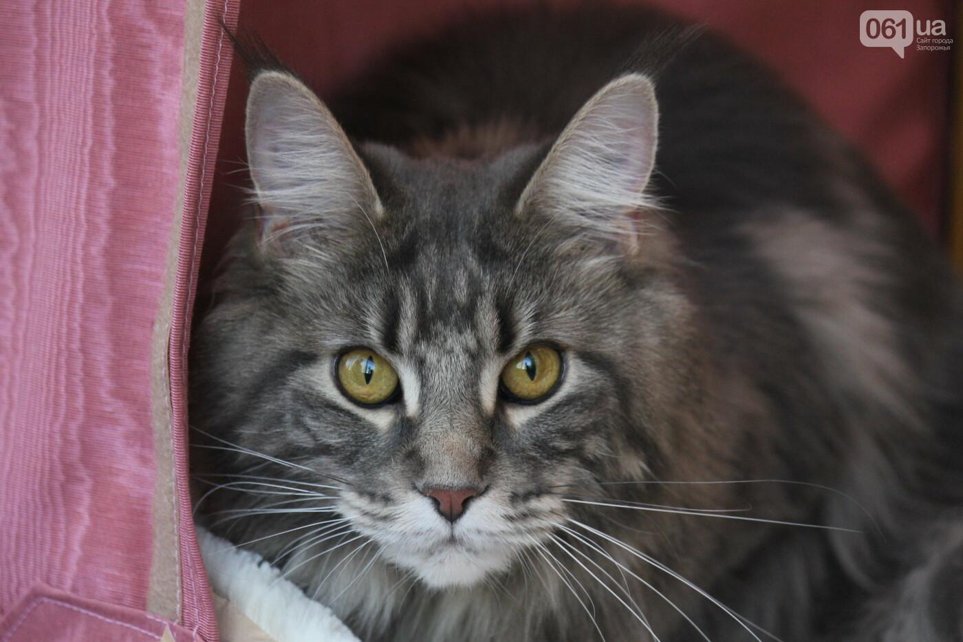 В Запорожье на выставке кошек показали 130 питомцев со всей Украины, – ФОТОРЕПОРТАЖ, фото-1