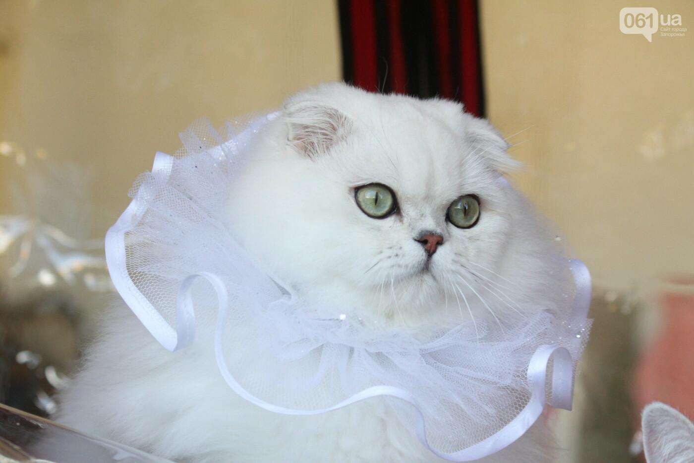 В Запорожье на выставке кошек показали 130 питомцев со всей Украины, – ФОТОРЕПОРТАЖ, фото-19