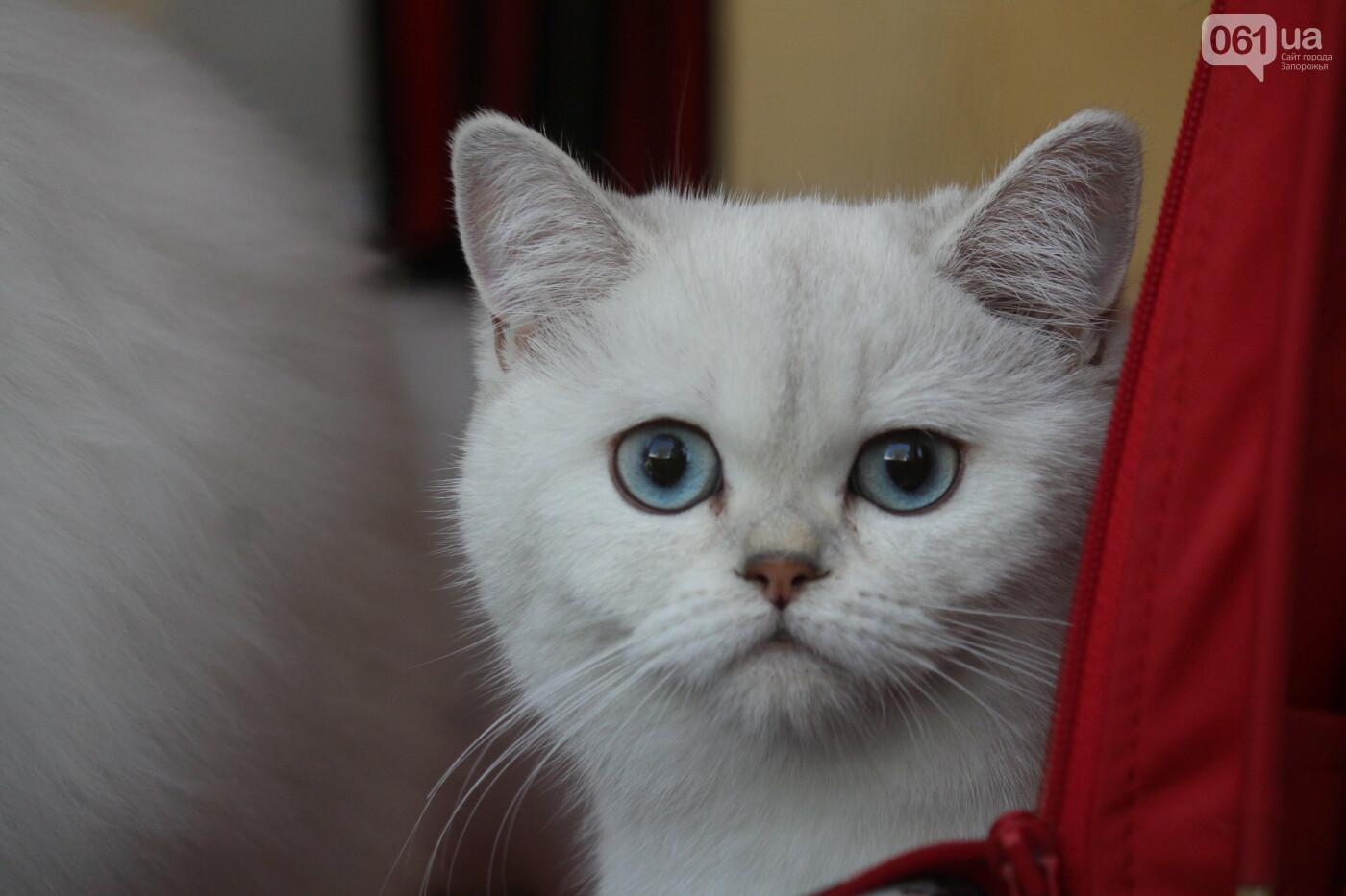 В Запорожье на выставке кошек показали 130 питомцев со всей Украины, – ФОТОРЕПОРТАЖ, фото-20